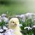kíváncsi · tyúk · barna · fektet · hibrid · fehér - stock fotó © stephaniefrey