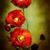 poppies stock photo © stephaniefrey