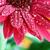 red gerber daisy stock photo © stephaniefrey