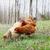 めんどり · 草地 · ファーム · 自然 · カップル · 鶏 - ストックフォト © stephaniefrey