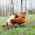 free range organic chickens in springtime stock photo © stephaniefrey