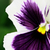 purple and white pansy stock photo © stephaniefrey