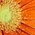 ıslak · pembe · papatya · makro · yaprakları - stok fotoğraf © stephaniefrey