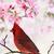 cardinal amid spring tree blossoms stock photo © stephaniefrey