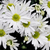 hermosa · púrpura · crisantemo · blanco · boda - foto stock © stephaniefrey