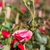bokor · díszítő · kert · közelkép · virág · tavasz - stock fotó © stoonn