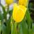 yellow tulip flower in garden stock photo © stoonn