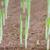 小さな · 緑 · トウモロコシ · 農業の · フィールド · 早い - ストックフォト © stoonn