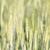 green barley growing in a field stock photo © stoonn