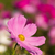 close up pink cosmos flower stock photo © stoonn