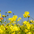 yellow cosmos flowers stock photo © stoonn