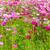 roze · bloemen · veld · Thailand · bloem · landschap - stockfoto © stoonn