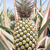 pineapple plant stock photo © stoonn