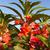 rose balsam flower stock photo © stoonn