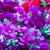 belo · roxo · prímula · flores · verde - foto stock © stoonn