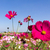 white and pink cosmos flowers stock photo © stoonn