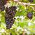piros · szőlő · kert · gyülekezet · szőlőskert · gyümölcs · zöld - stock fotó © stoonn