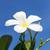frangipani flower or lan thom flower stock photo © stoonn