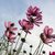 pink cosmos flower stock photo © stoonn
