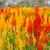 flor · belo · flor · amarela · lã · jardim · de · flores · jardim - foto stock © stoonn