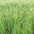 риса · урожай · фермы · Blue · Sky · небе · продовольствие - Сток-фото © stoonn