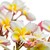 close up lan thom flower on white stock photo © stoonn