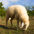 sheep grazing in the farm stock photo © stoonn
