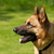 German Shepherd Dog stock photo © suerob