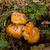 Spectacular Rustgill Fungus stock photo © suerob