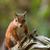 red squirrel on old tree stock photo © suerob