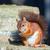 red squirrel posing on wall stock photo © suerob