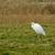 белый · цапля · куриного · сидят · гнезда · ребенка - Сток-фото © suerob
