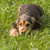 English Show Cocker Spaniel Puppy stock photo © suerob