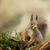 red squirrel stock photo © suerob