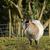 cabra · animal · bonitinho · branco · criança · grama - foto stock © suerob