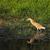 鷺 · 草で覆われた · 草 · 鳥 · アフリカ - ストックフォト © suerob