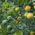fruto · de · laranja · árvore · laranja · frutas · oval · folhas · verdes - foto stock © suljo