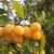 Geel · pruim · vruchten · boom · landbouw · hout - stockfoto © suljo