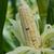 cor · milho · asiático · estilo · fruto · fazenda - foto stock © sundaemorning