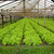 салата · области · природы · саду · зеленый · завода - Сток-фото © sundaemorning
