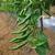 pimenta · quente · verde · cor · comida - foto stock © sundaemorning