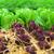 alface · campo · folha · jardim · verde · agricultura - foto stock © sundaemorning