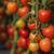 свежие · томатный · фрукты · красный · сельского · хозяйства - Сток-фото © sundaemorning