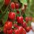 свежие · томатный · красный · фрукты · сельского · хозяйства - Сток-фото © sundaemorning
