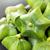 Plukenetia volubilis, sacha inchi, sacha peanut, mountain peanut stock photo © supersaiyan3