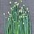 friss · hagyma · virág · szár · fekete · zöldhagyma - stock fotó © supersaiyan3