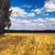 mező · arany · fülek · búza · naplemente · égbolt - stock fotó © supertrooper