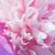 closeup of pink peony stock photo © supertrooper