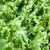 植木屋 · レタス · 緑 · サラダ · 野菜 · 頭 - ストックフォト © supertrooper