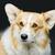 犬 · 側面図 · 見える · カメラ · 孤立した · 白 - ストックフォト © svetography